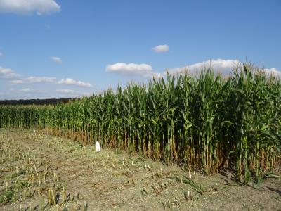 Spontanes Treffen am Maisfeld in Pomßen