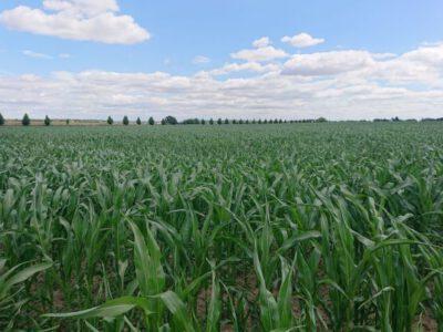 Düngefenster im Mais – aktueller Zwischenstand