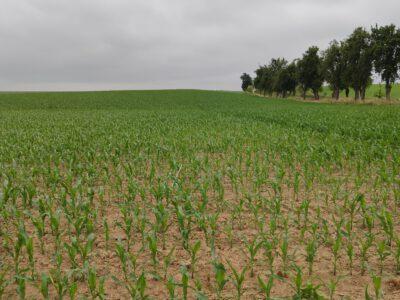 Stickstoffbereitstellung aus dem Boden unter Mais- und Zuckerrübenbeständen
